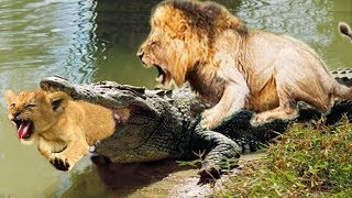 Crocodile chew Lion Cub, Mother Lion panic find but too late! Epic battle of king Swamp vs Lion
