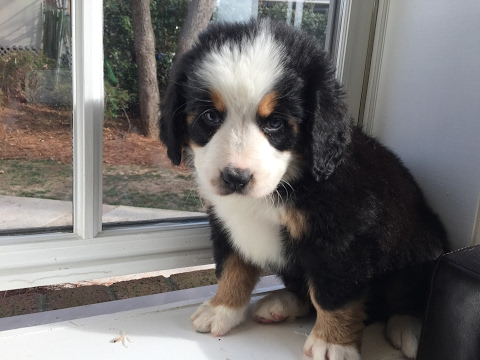 8 Week Old Bernese Mountain Dog - Darla Available