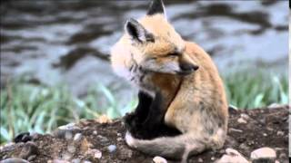 Video Baby Red Fox Calling! download MP3, 3GP, MP4, WEBM, AVI, FLV Juli 2018