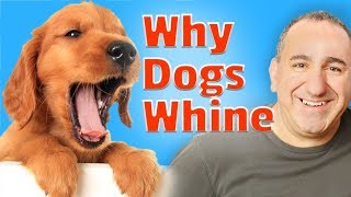 How to get my dog to stop whining -Why your dog whines?