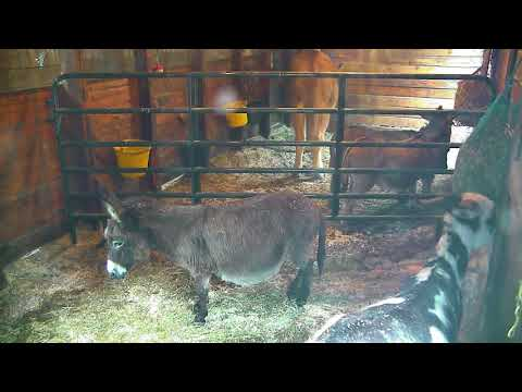 donkey-barn-cam-02-16-2018-10:37:55---11:37:55