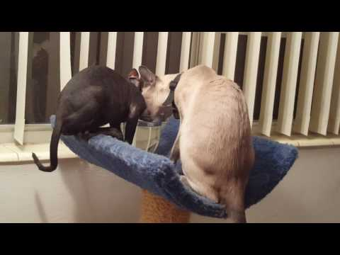 Siamese cat and Cornish Rex kitten   best friends