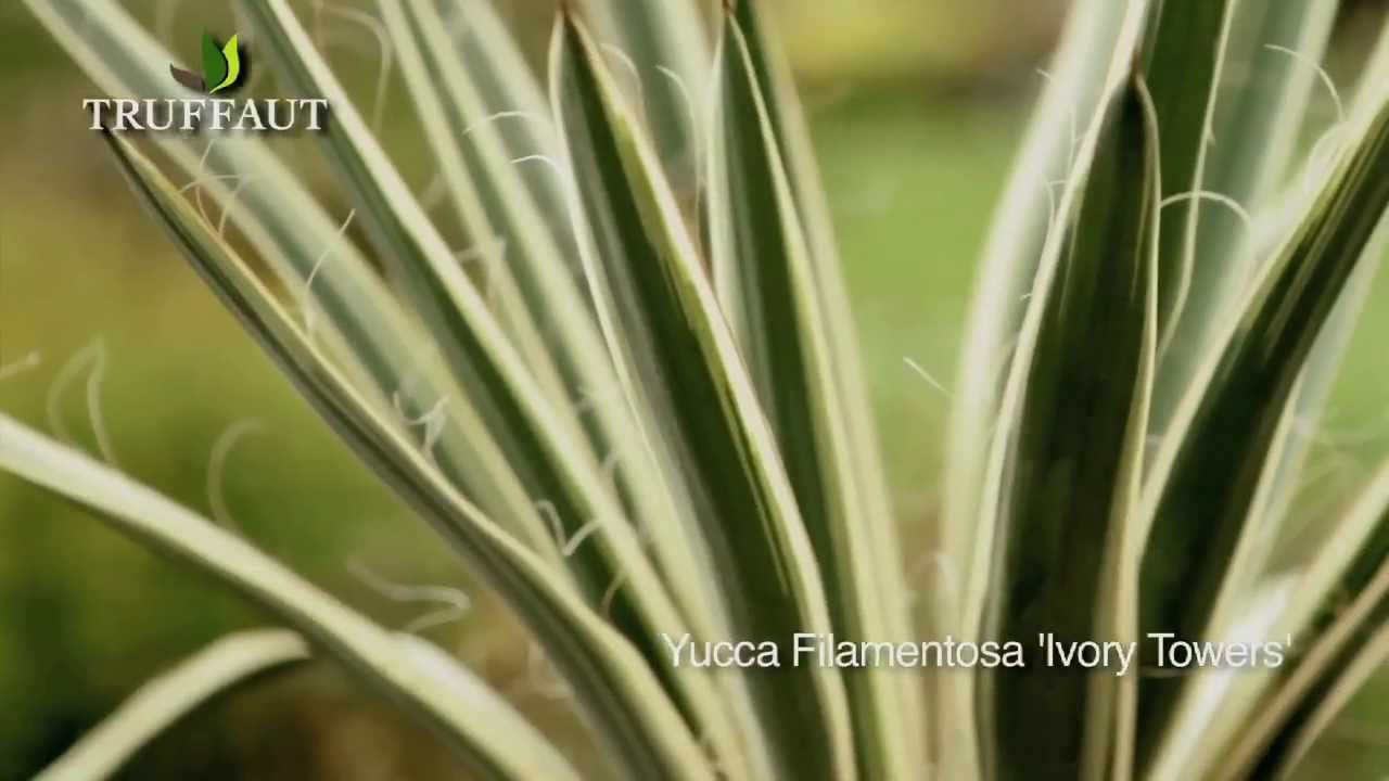 Yucca d 39 ext rieur ivory towers plantation et entretien for Yucca exterieur