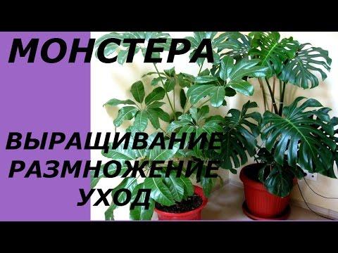 ☘Монстера - украшение любого дома © Irina Zhukova