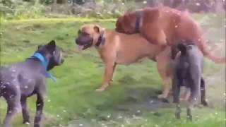 Dogs Mating Up Close And Get Stuck - Funny Animals Mating Compilation - Funny Dog Mating Fail #8