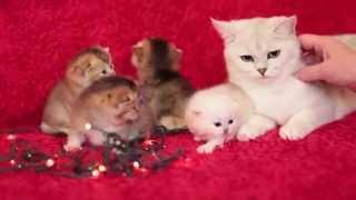 Котята драгоценных окрасов!