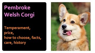Pembroke Welsh Corgi. Temperament, price, how to choose, facts, care, history
