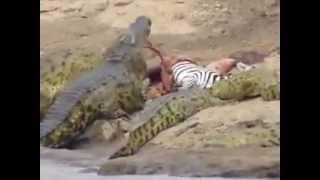Zebra catch by crocodile