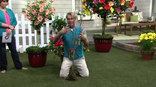 Cottage Farms Sugar Tip Rose of Sharon Patio Tree on QVC