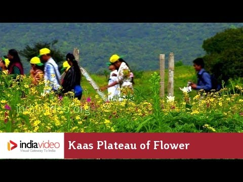 Flowers, flowers and more flowers - Nature's exotic gardens at Kaas Plateau