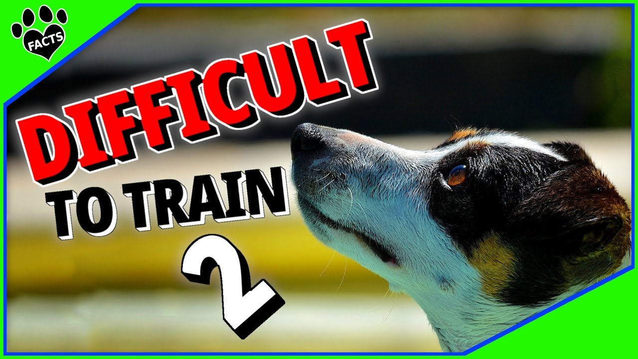 Difficult Dog Breeds to Train 2 - 7 More Stubborn Dogs