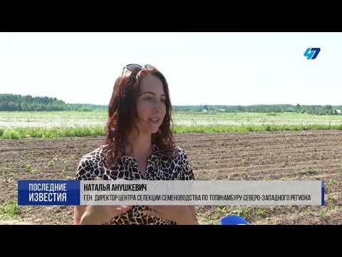 Новые сорта топинамбура Пасько и Солнечный  с рекордным количеством инулина