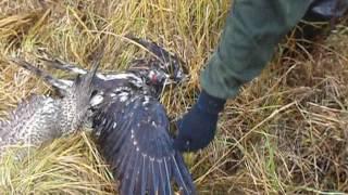 бой птиц насмерть редкие кадры