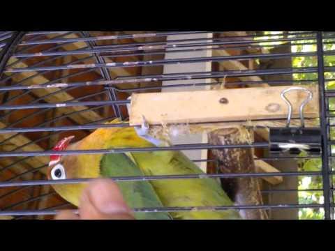 Burung Love Bird Ngekek[www.lagubagus.in]