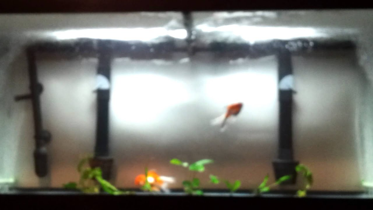 Freshwater aquarium fish internal parasites - Treating Goldfish For Internal External Parasites Wes