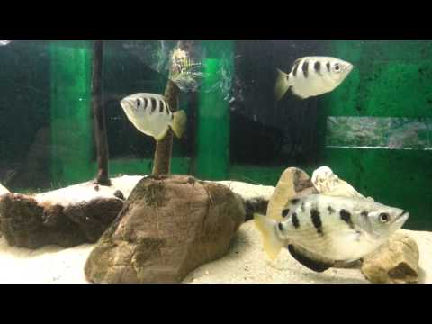 Big Banded Archerfish, Toxotes Jaculatrix
