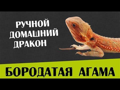 видео: Содержание Бородатой агамы