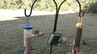 My Woodpecker Comes For His Mid-day Snack