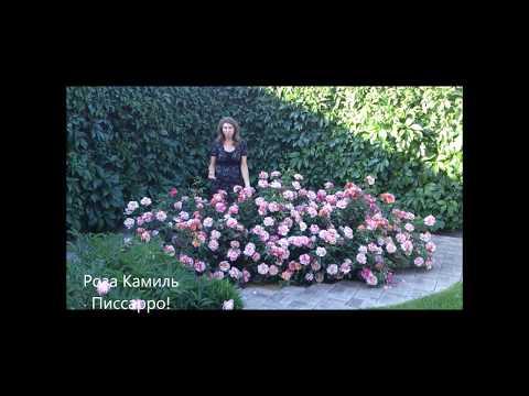 Роза питомника Дельбар, Камиль Писсарро! Яркая и обильно цветущая!