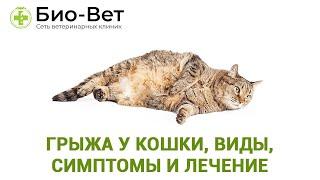 Грыжа у кошки, кота или котенка, виды, симптомы и лечение