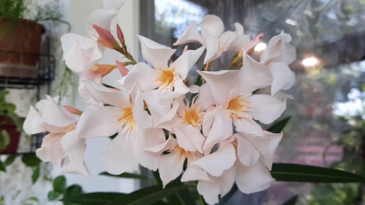 """В """"плену"""" у  цветущих комнатных растений. Всем любителям красиво цветущих комнатных растений."""