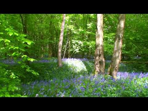 Bluebell time in the Chiltern Hills Woodlands