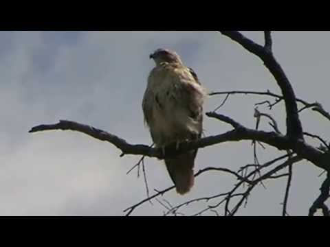 Redtail Hawk in Brookdale Park MOV093