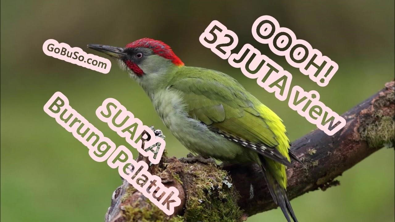 Pelatuk Suara Pikat Burung Pelatuk Beras Sampit Bawang Gacor Mp3 Youtube