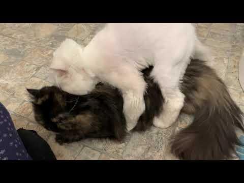 Persian Cats Mating (loud female)
