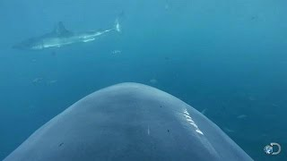 Camera Attached to Shark