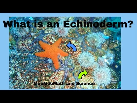 Animal Kingdom-What is an echinoderm?
