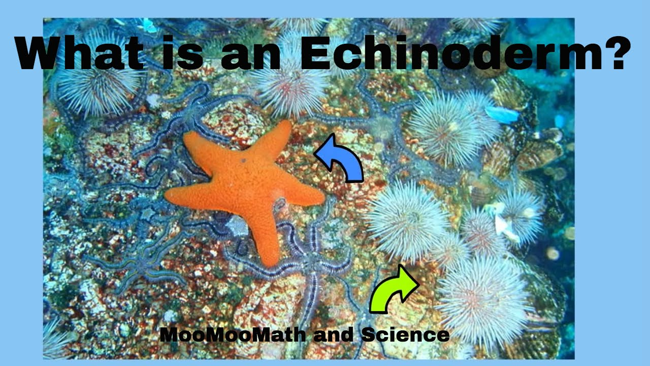 echinoderm facts youtube