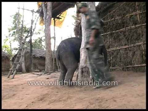 Super Cute: Baby Elephant chases girl to steal food from ...