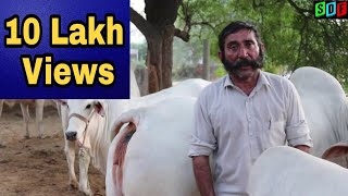 Top class Haryana Desi Cow. Nasib Singh Muchhal - Murrah Buffalo and Haryana Cow Breeder