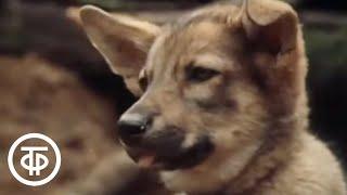 Бродяги Севера. Художественный фильм (1983)