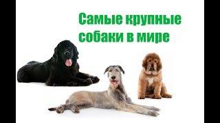 Самые Крупные Собаки В Мире &ТОП-5 Самых Крупных Пород Собак. Ветклиника Био Вет