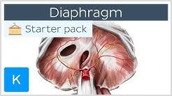 Diaphragm - Definition, Function, Muscle & Anatomy | Kenhub