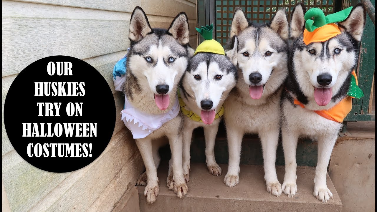our huskies try on 10 halloween costumes taco shark pumpkin pineapple crocodile more