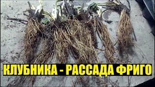 Первые шаги выращивания клубники