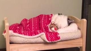 毎晩、まるで人間みたいに眠る猫が可愛いと話題に! thumbnail