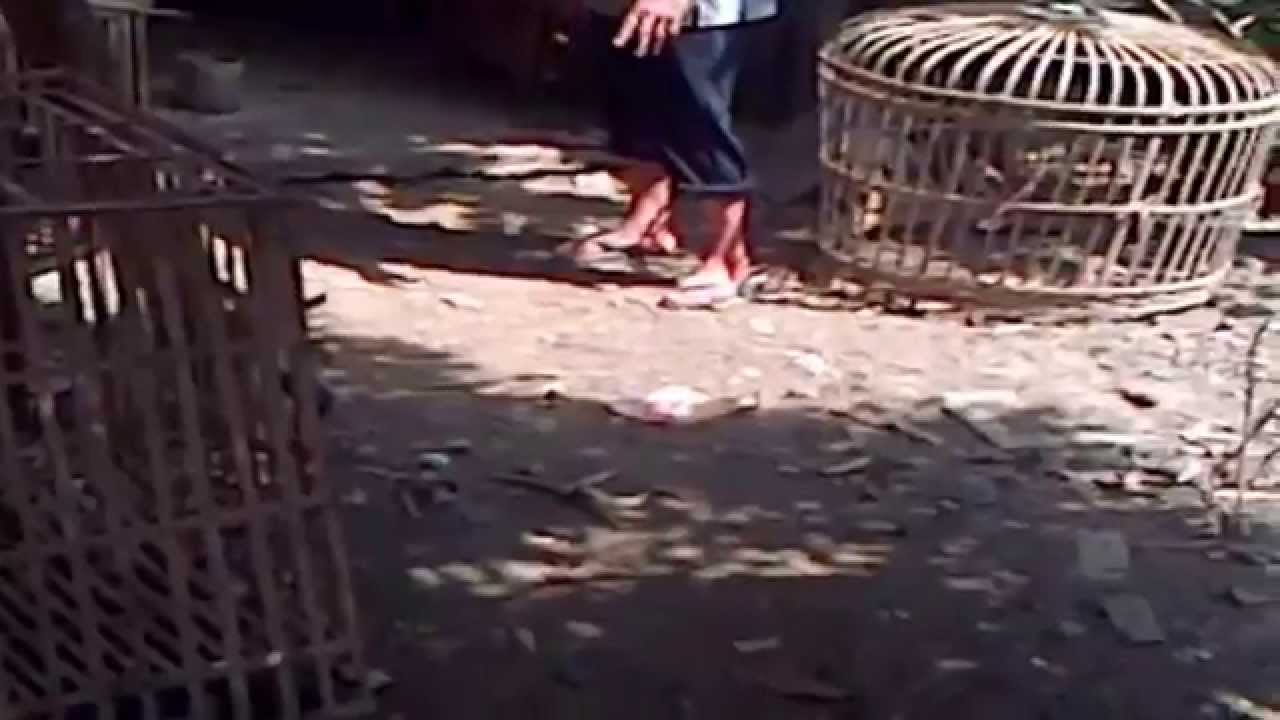 LIVESTOCK turkey - PETERNAK AYAM KALKUN - YouTube