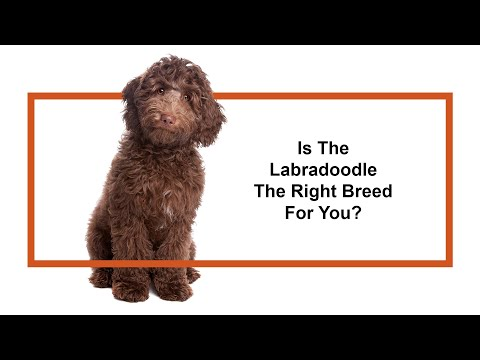 Learn all about the Labradoodle and why they could be your perfect pet!