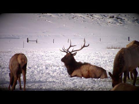 Utah Elk at Hardware Ranch