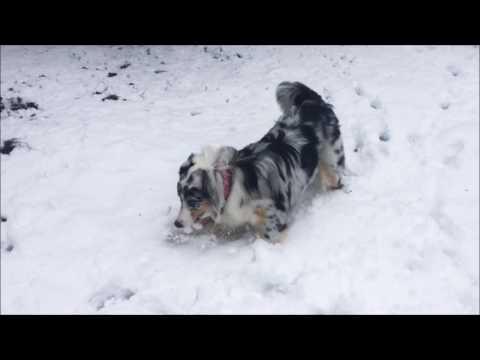 First snow! Fibi - the Australian Shepherd