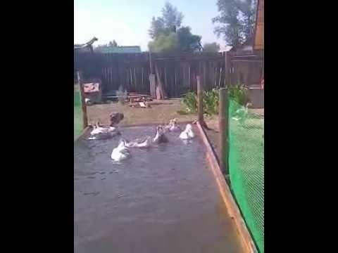Как сделать бассейн гусями 768