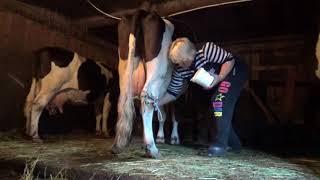 Как подоить корову, которая брыкается!Вечерняя дойка!