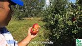 Яблони Сорт Алеся (Зимний) - YouTube