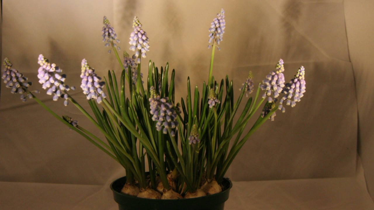 Our Time Lapse Photo Sequence Tulips Go >> Grape Hyacinth Time Lapse Youtube