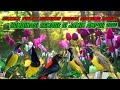 Suara Pikat Burung Sogok Ontong Ribut Terbaru  Mp3 - Mp4 Download