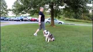 Zeus 7 Month Old Alapaha Blue Blood Bulldog Learns Obedience With Off Leash K9 Training, Columbia